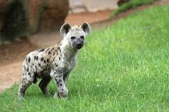 Niru (olivier.ghettem) Tags: hyne hynetachete hyena mammifre mammifres jeune bioparcvalencia savane espagne spain animal animalsauvage carnivore