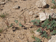 Texas storksbill, Erodium texanum (Jim Morefield) Tags: clarkcounty nevada unitedstates geraniaceae geraniumfamily erodium erodiumtexanum wfgna flora wildflower wildflowers angiosperm dicot plant texasstorksbill annuals annual desert drylakevalley drylakerange mojavedesert winter soil jdm20160296 olympus evolt e510 olympuse510 taxonomy:family=geraniaceae taxonomy:genus=erodium taxonomy:binomial=erodiumtexanum taxonomy:common=texasstorksbill geo:alt=620m pink purple 5petals roundcluster