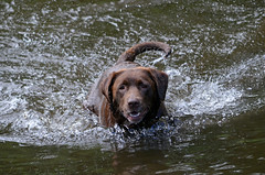 Brandysnapbabe (PottsyPics) Tags: fetch chocolatelabrador wet swimming branch tree river rivertanat brown labrador chocolate water splash furbaby