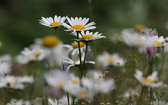 Leucantemi (lincerosso) Tags: prati montagna fioridiprato composite margherite leucantemi leucanthemumvulgare bellezza armonia montepizzoc estate