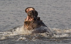 La Lucha / The Fight (José Rambaud) Tags: hippopotamusamphibius hippopotamus hippo hipopotamo lucha fight animal animals wild wildlife naturaleza nature natureza botswana africa chobe