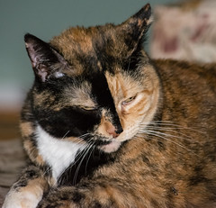 Isis Resting (Donald.Gallagher) Tags: animals cats de delaware fall felines horizontal isis mammals nature northamerica pikecreek public tortoiseshell typecolor typeportrait typetelephoto usa woodcreek
