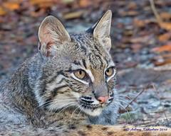 Bobcat Stare (Andrew's Wildlife) Tags: bobcat
