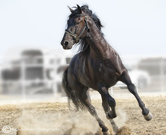 Andalusian Stallion (raineys) Tags: andalusian andalusion stallion horse revision merced california
