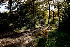 Kevin (Franco Vannini) Tags: madonnadelfaggio tuscany toscana beech oak faggio quercia autunno goldenretrievers