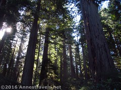 Sunlight through the Redwoods5 (Anne's Travels) Tags: redwoodnationalpark redwoods ladybirdjohnsongrove california