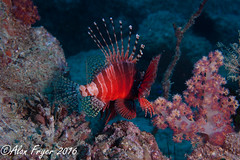 Lionfish (Alan Fryer) Tags: nikond700 underwaterphotography seychelles diveseychelles lionfish