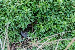 Kobe Neko (Tuck Happiness) Tags: park japan forest cat bush shy kobe 日本 hiding 猫 神戸 2014 nunobiki 布引