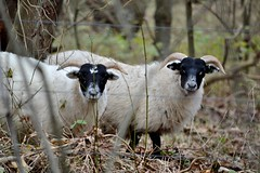 Noord-Hollands Duinreservaat (Roselinde Alexandra) Tags: nature animal animals outdoors sheep noordholland noordhollands duinreservaat