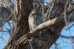 December 3, 2014 - A Thornton owl tries to nap. (Tony's Takes)