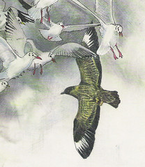 Great Skua (Stercorarius skua) by Michael Netherwood