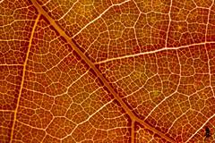 Foglia autunnale (_milo_) Tags: italy canon eos italia foglia 50 autunno arancione manfrotto oasi tubi angera kenko venature treppiede 60d