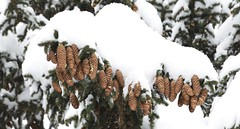 2015-01-27 (andreas.thomet) Tags: schnee winter schweiz switzerland suiza hiver grindelwald svizzera inverno tannenzapfen tannen inviero bäume