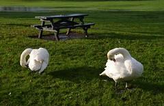 Embankment Swans. (Sunchild57 Photography. Taking a break.) Tags: swans picnicbench benchmonday wellingboroughembankmentnorthamptonshireengland