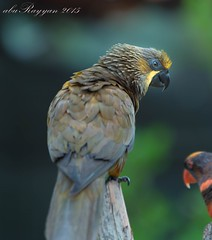 bird0.01 (aburayyan) Tags: park trees plants birds animals nikon df asia exotic malaysia fullframe nikkor fx malacca dx