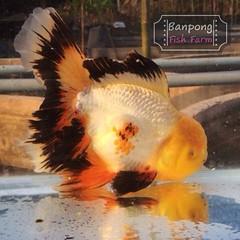 ของฝากเพื่อนๆ ในวันนี้ครับ Give for everyone today.  แวะมาเลือกซื้อปลาทองสวยๆ กันที่ ประชาฟาร์ม พวกเรายินดีต้อนรับเพื่อนๆ ผู้รักปลาสวยงามทุกคน มีบริการส่งทั่วประเทศไทย  ติดตามพวกเราได้ที่… http://banpongfishfarm.com/ https://www.facebook.com/banpongfishfa