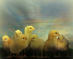 Seven chicks (jaci XIII) Tags: yellow sete seven chicks amarelos pintinhos