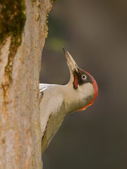 Picchio verde - Picus viridis - Eurasian Green Woodpecker (vieri bertola) Tags: verde uccelli picchio