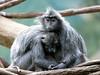Silvered Leaf Monkeys (Eddie C3) Tags: bronxzoo jungleworld wildlifeconservationsociety silveredleafmonkey trachypithecuscristatus silverylutung silverylangur