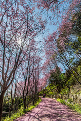 Spring Blossoms 暖日晴雲花滿樹 (Sharleen Chao) Tags: wild flower color nature floral canon spring day taiwan bluesky clear trail 桜 cherryblossom sunburst taoyuan sunflare 櫻花 春天 拉拉山 1635mm 復興鄉 桃園縣 櫻木花道 昭和櫻 落櫻 落英 中巴陵 canoneos5dmarkiii canon5dmarkiii 昭和桜 日芒 華陵村