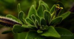 Escuela de Fotografia Digital (Elisardo Minks) Tags: chile naturaleza macro nikon 1855mm vregin viadelmar d7100 elisardo afiap vigilantphotographersunite