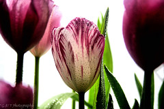 Purples & Pinks.... Tulips (g_and_t_photography) Tags: flowers plants backlight canon dewdrops flora purple tulips dew