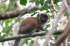 Ranomafana grey bamboo lemur.