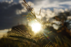The sun rays & palm frond (haidarism (Ahmed Alhaidari)) Tags: sun nature palm frond rays