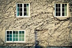 3 (The Green Album) Tags: city windows centre vine oxford creepers