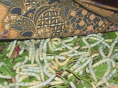 Silk Worms in Laotian Village