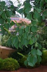 Triadica sebifera, Dubbo Regional Botanic Garden, NSW, 05/12/14 (Russell Cumming) Tags: plant newsouthwales dubbo euphorbiaceae triadica triadicasebifera dubboregionalbotanicgarden