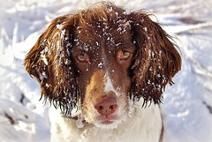 Please can i have another Snowball..... (Missy Jussy) Tags: christmas portrait england dog sunlight snow animals canon spaniel springerspaniel rochdale blackstoneedge cannon600d