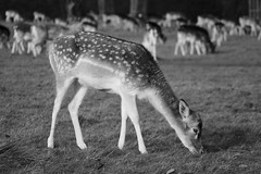 Cute little deer (cpb_photography) Tags: park blackandwhite bw cute nature beautiful canon photography photographer richmond deer richmondpark 70300 nocolour canonphotos sigmalens canon400d canonphotographer