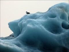 Visitor... (mau_tweety) Tags: ice iceland seagull gabbiano jkulsrln ghiaccio islanda austurland