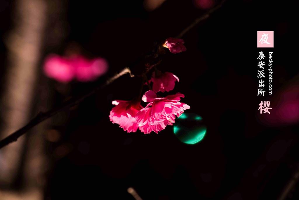 2015.Feb sakura @Taichung 泰安派出所夜櫻