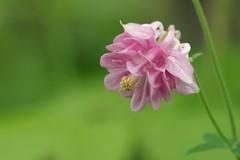 Encouragement au printemps * (Titole) Tags: pink green columbine ancolie friendlychallenges titole nicolefaton