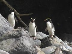 Tawaki Penguins