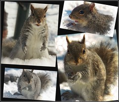 Peanuts are required (MissyPenny) Tags: winter animal squirrel pennsylvania wildlife easterngreysquirrel southeasternpa