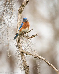 Eastern Bluebird (Wilfred Wong Photography) Tags: statepark brazosbend bbsp