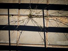 Atrapada II / caught II (Tonigp) Tags: planta calle sombra olympus asfalto losas