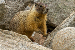 Yellow- Bellied Marmot (Sandy Stewart) Tags: wild canada color nature animals canon rodent bc photos wildlife northamerica marmot marmots yellowbelliedmarmot sandystewart canon7d northamericaphotos sandystewartphotography