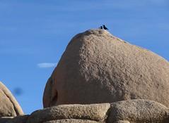 Joshua Tree National Park California (84) (Planet Q) Tags: california joshuatree