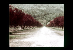 ss29-36 (ndpa / s. lundeen, archivist) Tags: california trees color film 1971 farm nick slide orchard napavalley napa dirtroad slideshow 1970s dewolf westernus westernunitedstates early1970s nickdewolf photographbynickdewolf slideshow29
