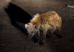 Hyenas Feeding Show, Harar, Ethiopia (Eric Lafforgue) Tags: africa food male animal horizontal night mammal outdoors photography community adult feeding wildlife canine nobody nopeople unescoworldheritagesite unesco tradition ethiopia cultures foodanddrink hyena adultsonly developingcountry hornofafrica scavenging harrar eastafrica animalsinthewild harar carnivora animalbehaviour traveldestinations famousplace spottedhyena alertness fulllenght oromo colorpicture animalthemes traveldestination colourimage harer colourpicture hararjugol harergey ethio1409456