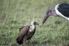 _JMH1890 (joannehedger) Tags: masaimara maraboustork whitebackedvulture gypsafricanus joannehedger leptoptiloscrumenife httpjoannehedgerblogspotcouk