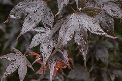 20160712_Water Droplets on leaves (Damien Walmsley) Tags: wet water leaves droplets maple