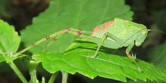Lesser Angle-winged Katydid, Microcentrum retinerve, nymph, Fiddler's Creek Preserve (Seth Ausubel) Tags: orthoptera tettigoniidae