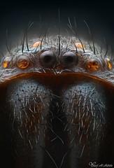 Spider (TBA) (Yousef Al-Habshi) Tags: yousef al habshi macro spider spain uae
