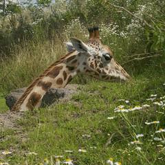 Giraffe (irene.dijkhuizen) Tags: giraffe zoo animal