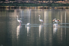 IMG_5406 (ibzsierra) Tags: flamenco flamingo ave bird oiseau canon 100400isusm ibiza eivissa baleares salinas parque natural